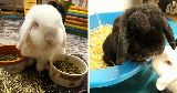 black white bunnies playing indoors
