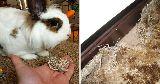 bunny chewed carpet shame