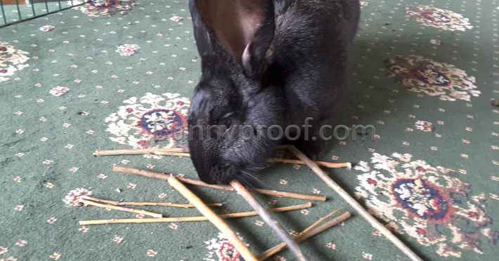 bunny chewing twigs