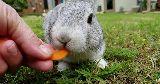 bunny eating carrot