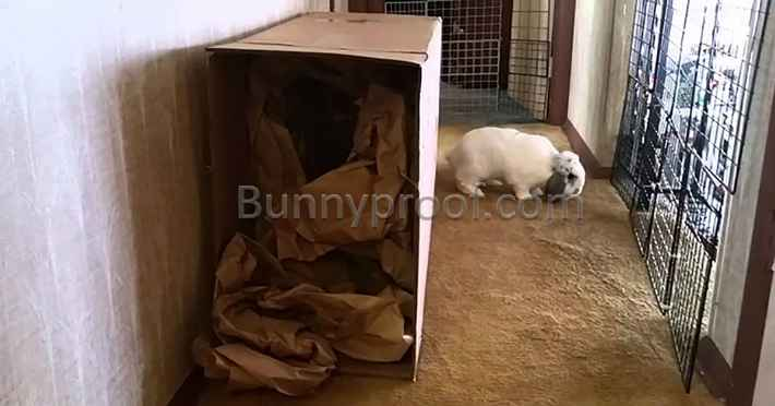 bunny playing cardboard box
