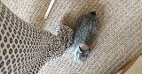 bunny sitting curtains