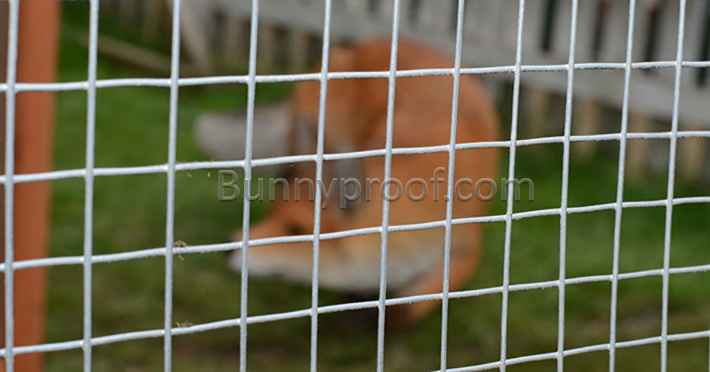 fox behind wire fence