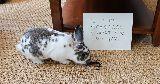 naughty bunny chew carpet