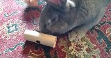 rabbit playing toy toilet roll treat tumbler