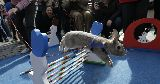 show jumping bunny