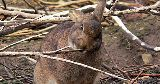 wild rabbit chewing twig