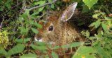wild rabbit hiding