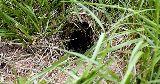 wild rabbit hole