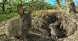 wild rabbits warren